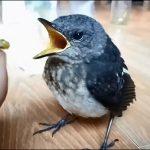 Chim chích chòe than ăn gì? Cách nuôi chòe than hót hay và siêng hót