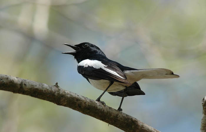 Những thông tin cơ bản về chim Chích Chòe Than