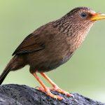 Bí quyết nuôi chim Họa Mi chuyên nghiệp (Phần 3)