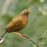 Cách nuôi chim Họa Mi Chiến ( đá )