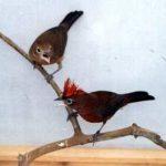 CHIM CHÓP ĐEN ( Lophospingus Pusillus )