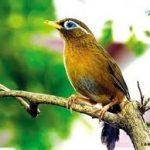 Cách chọn chim Họa Mi