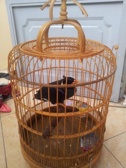 Hướng dẫn chăm sóc và nuôi chim nhồng nói được-hình số-1