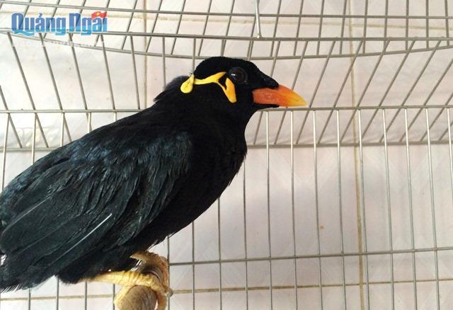 Với vẻ đẹp bên ngoài và co khả năng nói được tiếng người, chim nhồng được nhiều người chọn mua về nuôi trong nhà