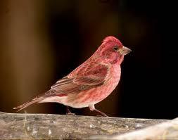 Bộ sưu tập Finch