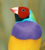 Gouldian Finch – chim Bảy màu