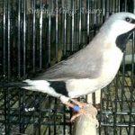 CHIM LONG CƠ ( Poephila Acuticauda )