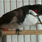 Lưu ý những điều cần tránh khi nuôi chim Chào Mào căng lửa