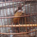 Bí quyết nuôi chim Họa Mi chuyên nghiệp (Phần 1)