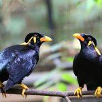 Chia sẻ kinh nghiệm nuôi chim nhồng nói
