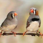 Kinh nghiệm chọn mua chim cảnh