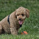Top 20 giống chó dễ thương nhất trên thế giới