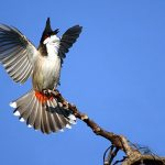 Cách nuôi chim chào mào hót hay và căng lửa