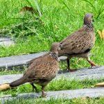Đời sống sinh học của chim cu gáy