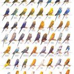 bảng màu sắc đầy đủ của một số loài vẹt phổ biến