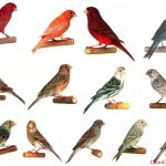 Chim yến hót – một thú chơi tao nhã