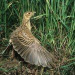 Thuật ngữ về chim sơn ca