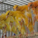 Vài kinh nghiệm khi chọn mua chim
