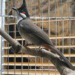 Chim Chào Mào – Những hiểu biết dành cho người mới chơi