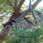 Kỹ thuật bẫy chim chào mào hiệu quả