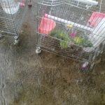 Kĩ năng tối thiểu nuôi vẹt ngực hồng