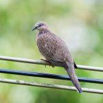 Kinh nghiệm về chọn Quy chim cu gáy