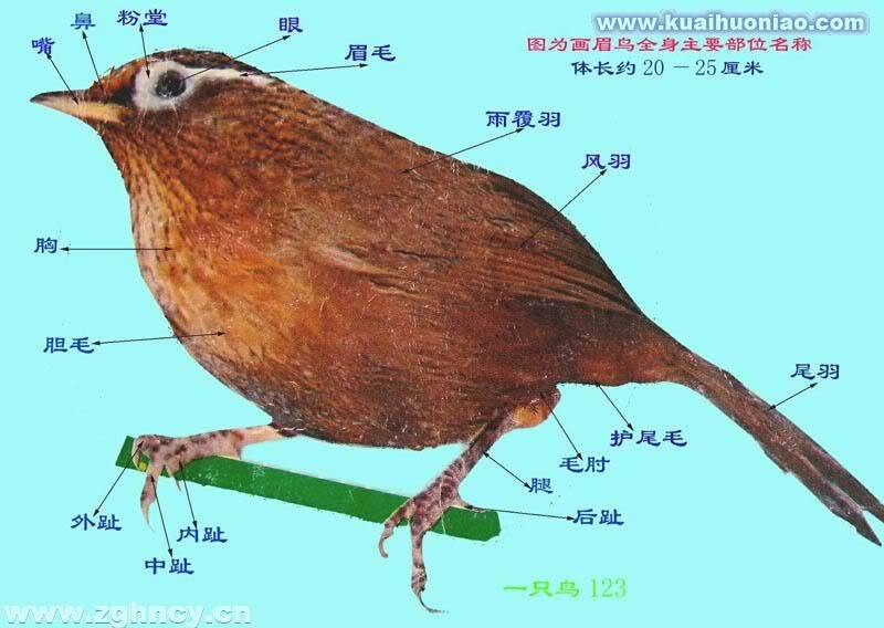 Hiểu biết về Chim Họa Mi.