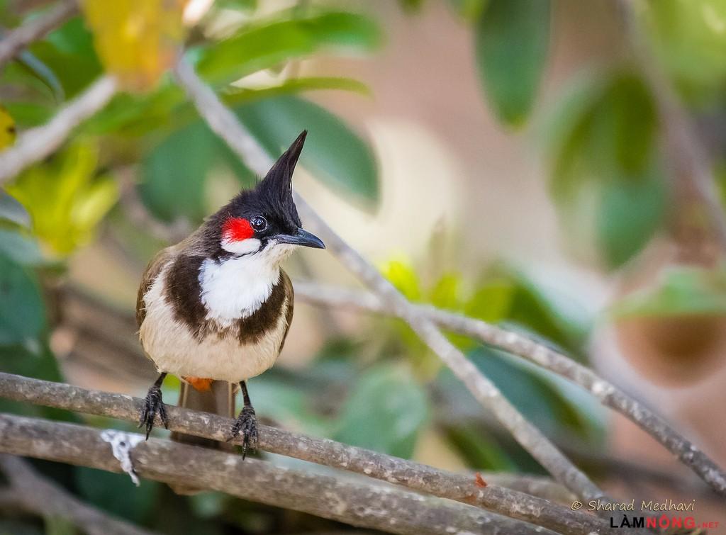 Cách chọn chim chào mào hót hay bạn nên biết