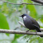 Cách nuôi chim khướu bạc má