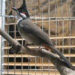 Một số bệnh hay gặp ở chim Chào mào – Phòng và chữa trị