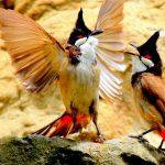 TOP 5 loài chim chào mào hót hay được các đại gia săn lùng hiện nay
