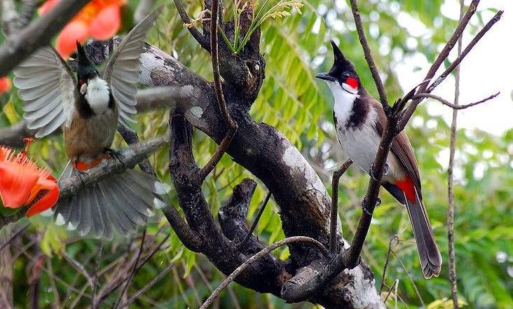 Tiêu chí chọn con chim chào mào đẹp, hót hay