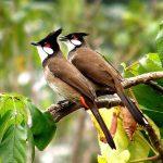 Bạn có biết chim chào mào ở đâu hót hay nhất không?