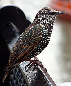 Thông tin về chim sáo