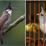Nghệ Thuật Thuần Dưỡng Chim Chào Mào
