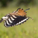 Chim đầu rìu và bí mật chống lại kẻ thù tuyệt vời của chim non