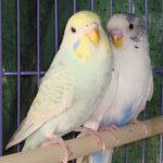 Kỹ thuật nuôi chim Yến Phụng làm cảnh tuyệt đẹp tại nhà