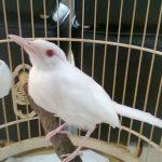 Những điều cần chú ý trong việc nuôi chim chào mào bạch tạng