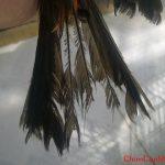 Hiện tượng sâu lông ở chào mào và cách trị