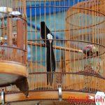 Nghệ Thuật Chọn Chim Chích Chòe Lửa Mộc