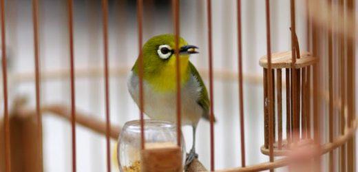 Cách làm cám cho chim vành khuyên ( chim khoen )