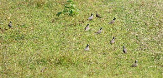 Cu gáy vằn (Geopelia striata): Loài chim ngoại lai trong hoang dã ở Việt Nam