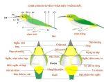 Cách phân biệt chim vành khuyên trống và mái