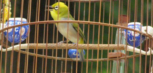 Các giai đoạn chăm sóc chim vành khuyên