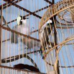 Quá trình tập dợt chim hót