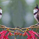 Bạn có biết chim chào mào ăn gì thì hót hay?