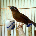 20 điều lưu ý khi thuần dưỡng chim Họa Mi Mộc