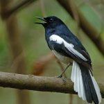 Tìm hiểu về giống chim chích chòe than