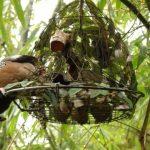 Cách bẫy chim cu gáy