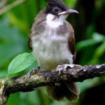 Cách để phân biệt chim chào mào trống và mái